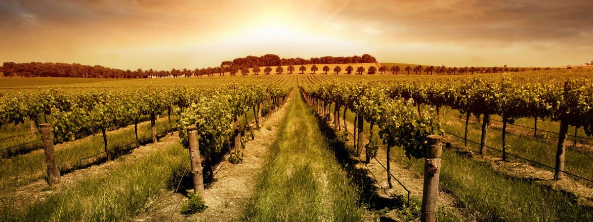 Coltivare viti e produrne vino