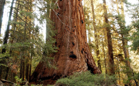Vedere una sequoia giante allo Yosemite National Park