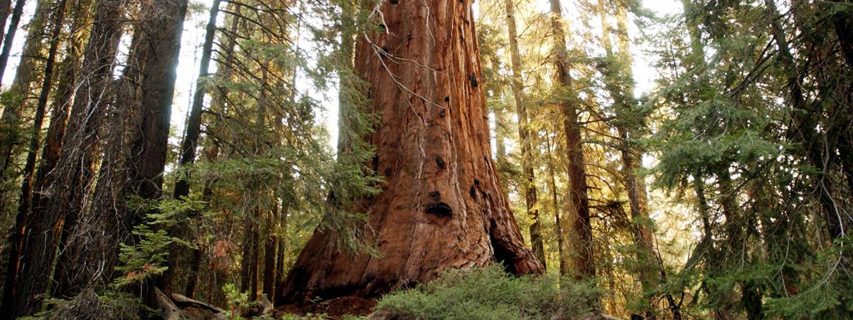 Vedere una sequoia giante allo Yosemite National Park